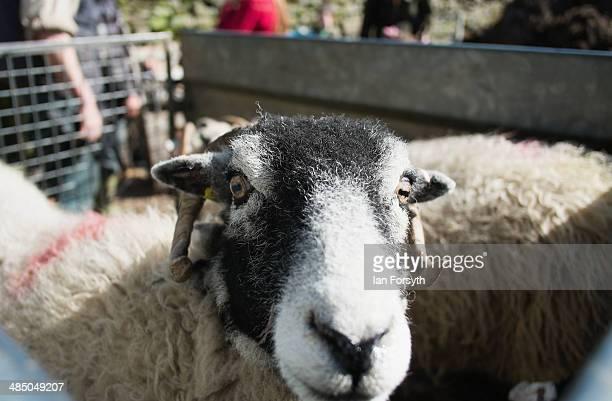 Sheep wait to be transported at Ravenseat the farm of the Yorkshire Shepherdess Amanda Owen on April 15 2014 near Kirkby Stephen England Amanda Owen...