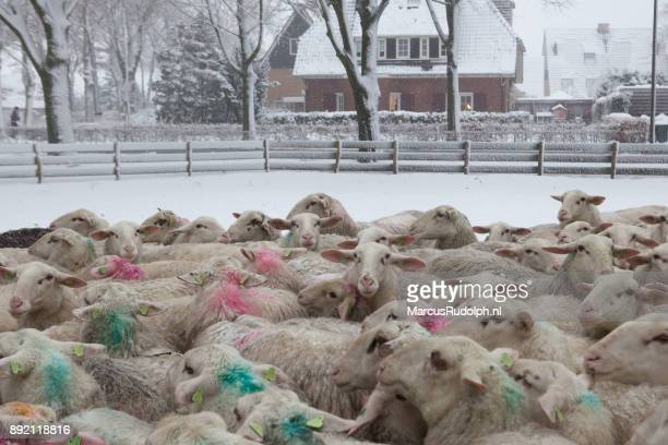 Sheep waiting in the snow