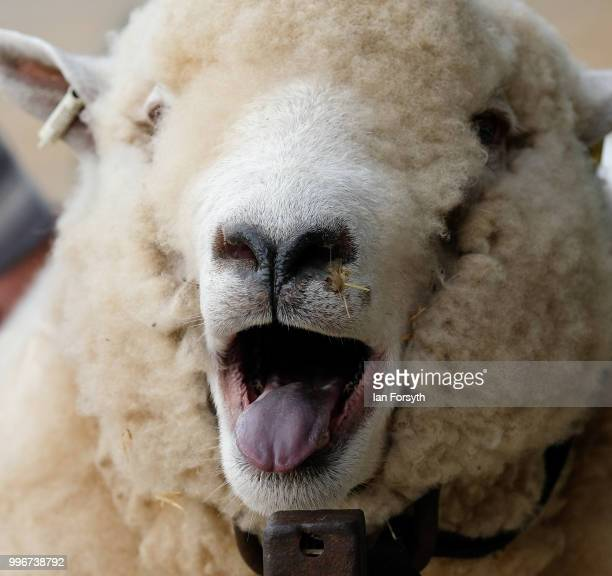 A sheep waits to have its wool trimmed during preparations at the 160th Great Yorkshire Show on July 10 2018 in Harrogate England First held in 1838...