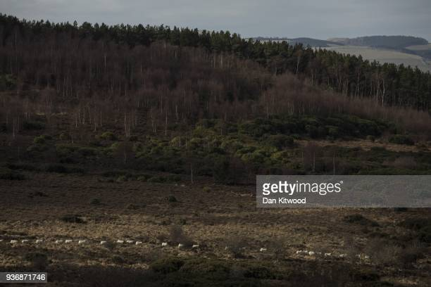 Sheep walk across the North Doddinton site on March 22 2018 in Doddington England The Doddington North Afforestation project has begun with the...