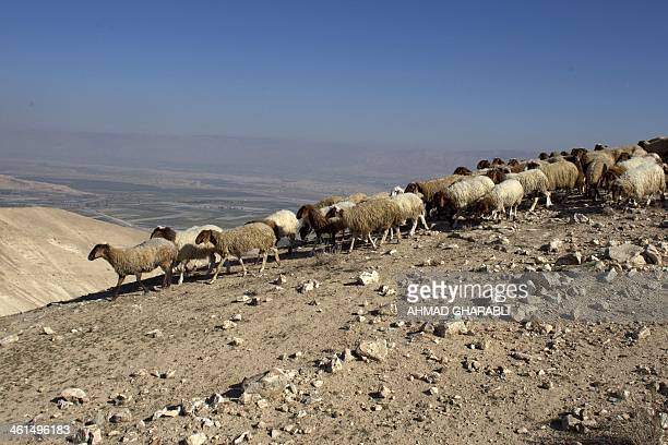Sheep walk at the Judean desert overlooking the Jordan Valley on January 8 2014 According to reports coming out of the meetings between Israel and...