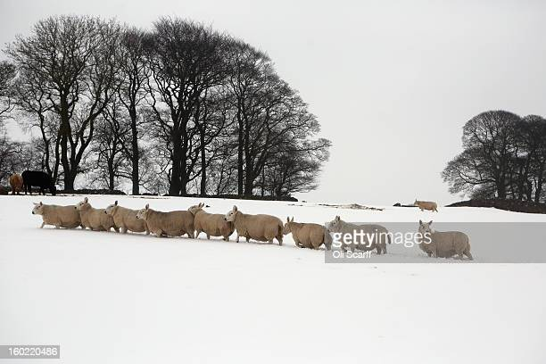 Sheep walk through a snowcovered field near Dovedale in the Peak District on January 26 2013 in Stanshope England
