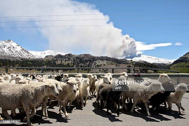 Sheep walk with the Copahue volcano spewing ashes in the background in Neuquen province Argentina some 1500 km southwest of Buenos Aires on December...