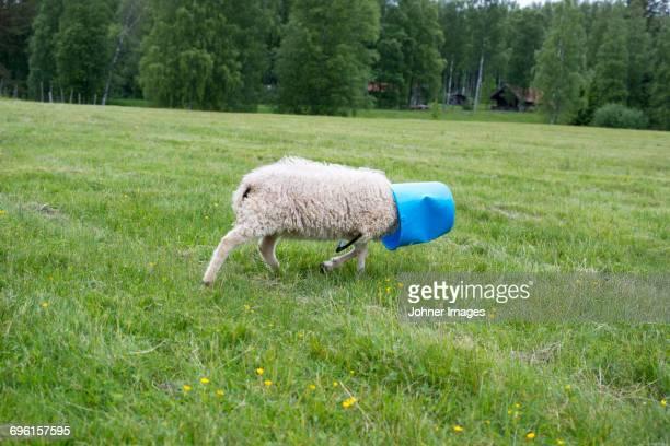 Sheep walking in meadow with bucket on head