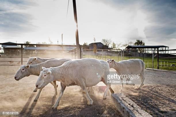 Sheep walking in pen on farm