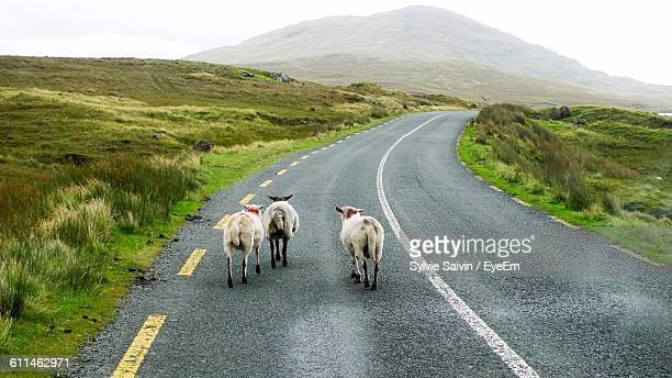 Sheep Walking On Country Road Against Mountain