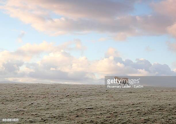 Sheep Walking On Field Against Cloudy Sky At Sunset