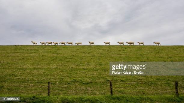 sheep walking on field against sky - husum stock-fotos und bilder