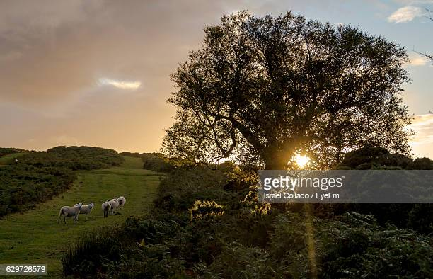Sheep Walking On Grassy Field By Trees Against Sky During Sunset