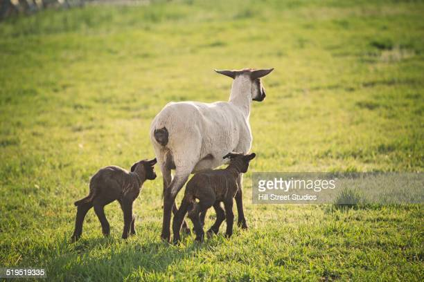 Sheep walking with lambs in field