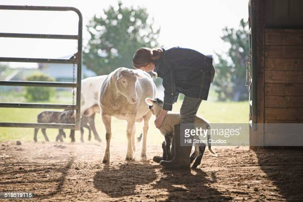 sheep watching mixed race girl petting lamb in barn - livestock stock pictures, royalty-free photos & images