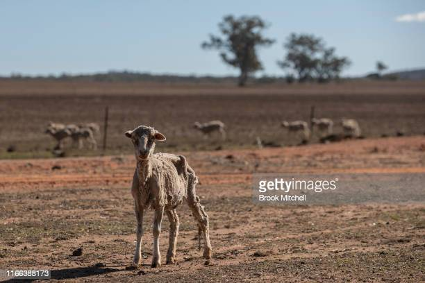 A sheep weak with hunger stands on the severely drought affected property Maryborough run by the Jerry family 40km northeast of Coonabarabran At the...