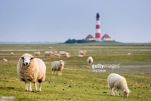 sheep, westerhever lighthouse in background - schaf stock-fotos und bilder