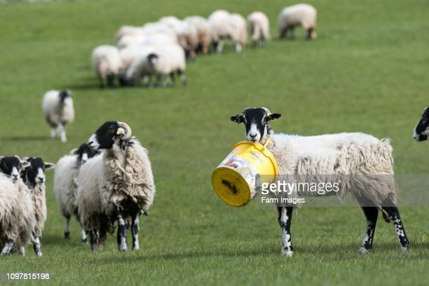Sheep with a bucket round its neck with others looking on