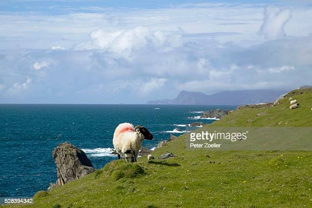 a sheep with a red marking on it's back grazing on the atlantic drive on achill island; county mayo, ireland - big arse stock pictures, royalty-free photos & images