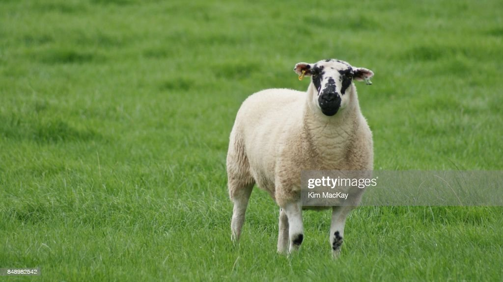 Sheep with ear tags in the English countryside : Foto de stock