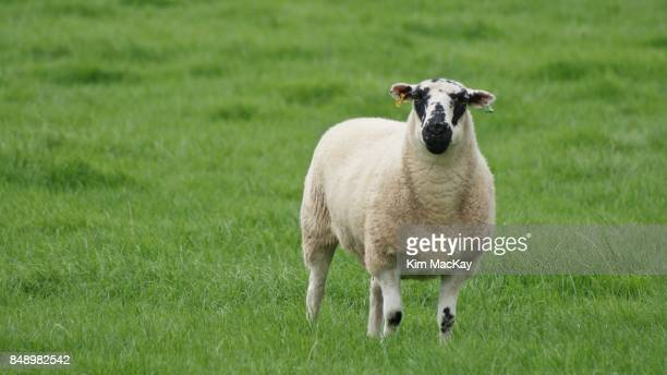 sheep with ear tags in the english countryside - knock knees stock photos and pictures