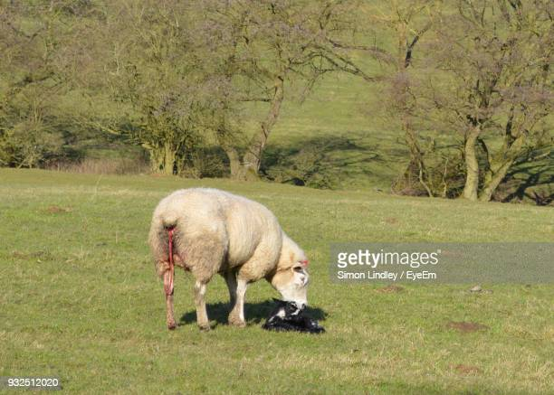 Sheep With Infant On Field