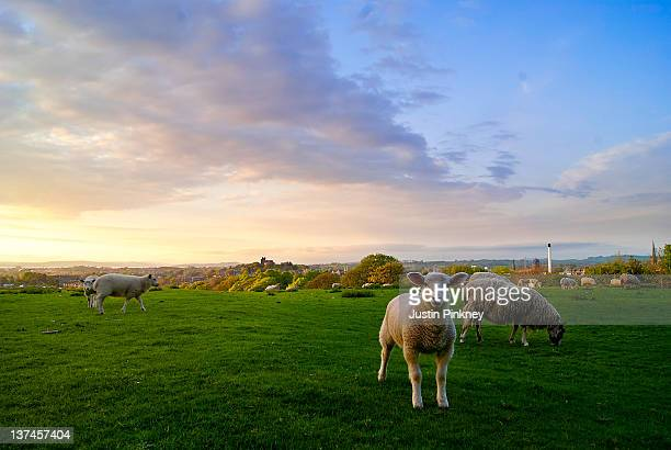 Sheep with lancaster castle in background
