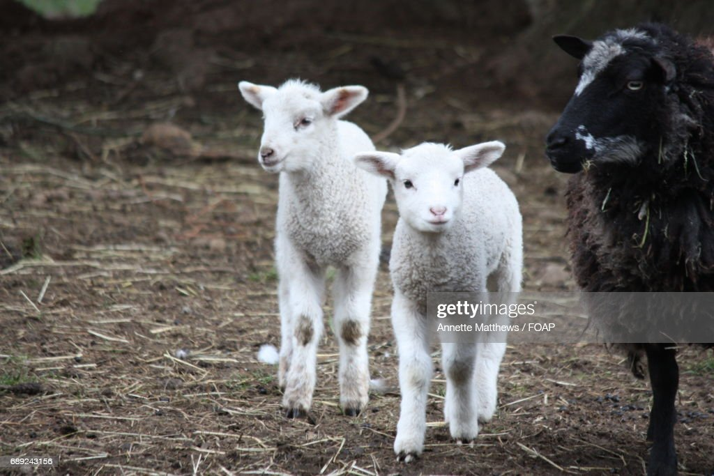 Sheep with young lamp on pasture : Stock Photo