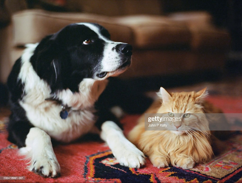 Sheepdog and long haired tabby on rug : Stockfoto
