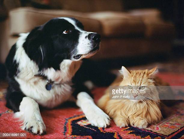 sheepdog and long haired tabby on rug - dog and cat stock pictures, royalty-free photos & images