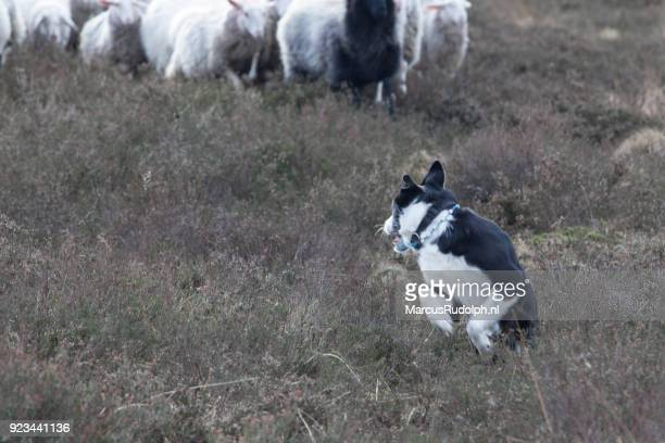 Sheepdog chased by sheep