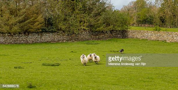 Sheepdog demonstration with a Border Collie ( Canis lupus familiaris )