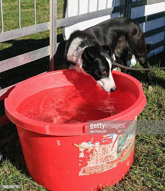 Sheepdog drinks from a bucket of water after running at the British National Sheep Dog Trials on August 6, 2016 in York, England. Some 150 of the...