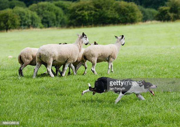 Sheepdog drives sheep towards a pen during the British National Sheep Dog Trials on August 6, 2016 in York, England. Some 150 of the best sheepdogs...