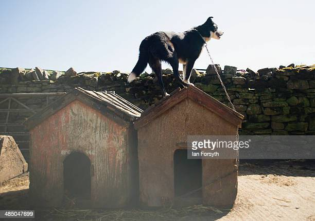 Sheepdog gets a better view during a delivery of sheep at Ravenseat, the farm of the Yorkshire Shepherdess Amanda Owen on April 15, 2014 near Kirkby...