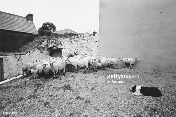 A sheepdog guarding a flock on Fair Day in Drumkeeran County Leitrim Ireland 1973