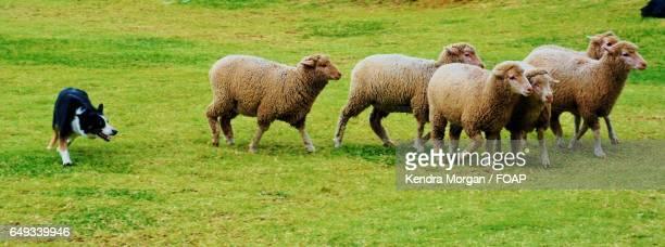 Sheepdog herding sheep in grassy field