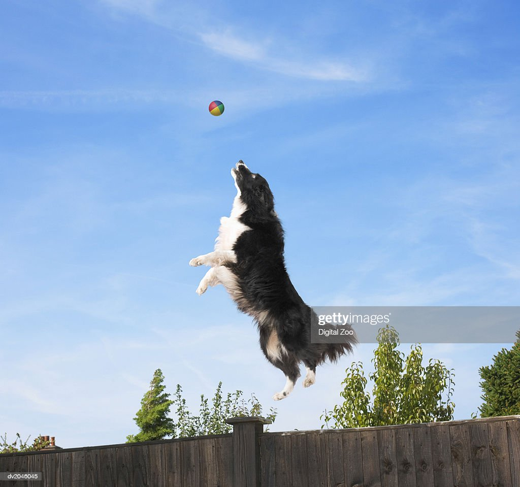 Sheepdog Jumping to Catch a Ball : Stock Photo