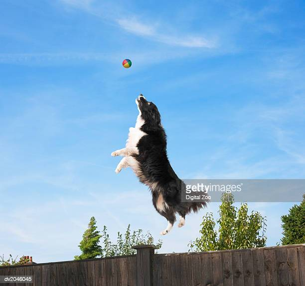 Sheepdog Jumping to Catch a Ball