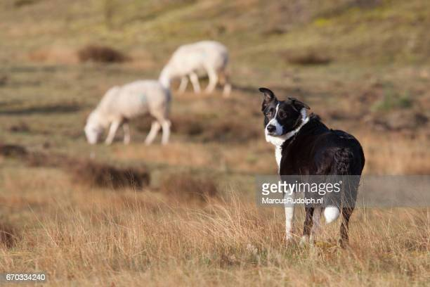 Sheepdog looking for permission