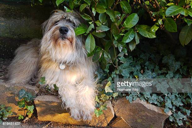 Sheepdog mixed breed under laurel hedge.