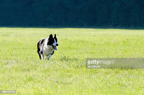 Sheepdog moves into a position as it runs the sheep towards the pen at the British National Sheep Dog Trials on August 6, 2016 in York, England. Some...