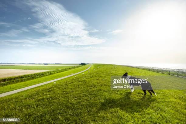 sheepdog hill overlooking sheep netherlands