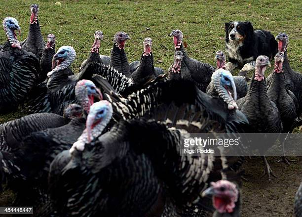 Sheepdog Otto rounds up a flock of organic free range bronzefeathered turkeys at Hook House Farm on December 9 2013 in Kirby Fleetham England The...