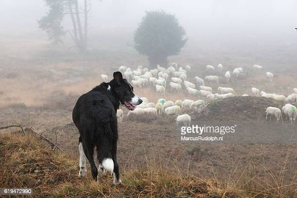 Sheepdog overseeing the herd from above
