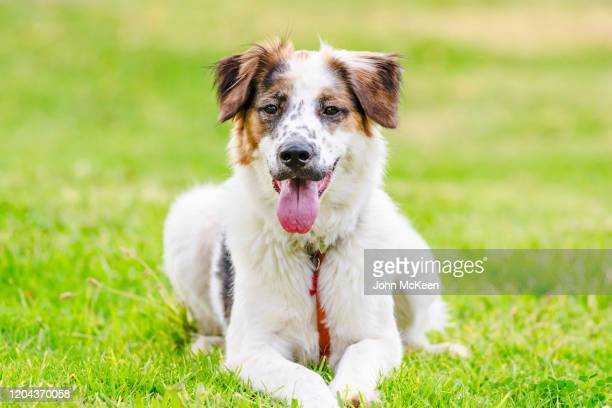 sheepdog - mongrel dog stock pictures, royalty-free photos & images