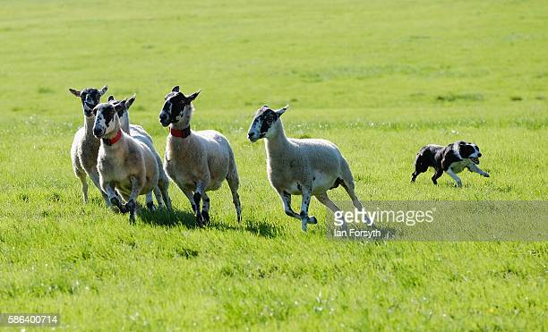 Sheepdog runs the sheep towards the pen at the British National Sheep Dog Trials on August 6, 2016 in York, England. Some 150 of the best sheepdogs...