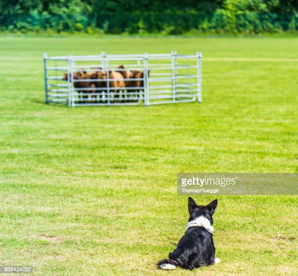 Sheepdog trials sheperd competition