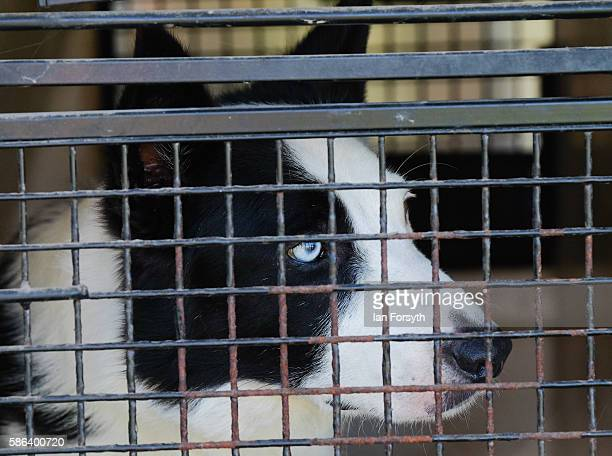 Sheepdog waits in a cage after being transported to the British National Sheep Dog Trials on August 6, 2016 in York, England. Some 150 of the best...
