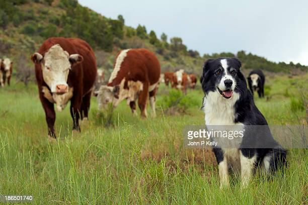 sheepdog with hereford cattle - grupo mediano de animales fotografías e imágenes de stock