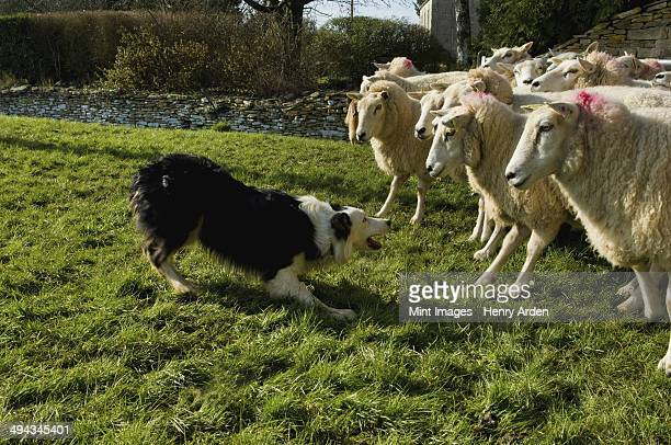 Sheepdog working a small flock of sheep.