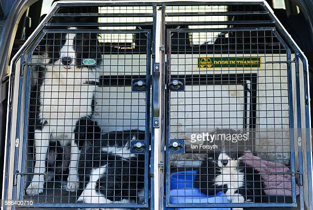 Sheepdogs are transported to compete at the British National Sheep Dog Trials on August 6, 2016 in York, England. Some 150 of the best sheepdogs and...