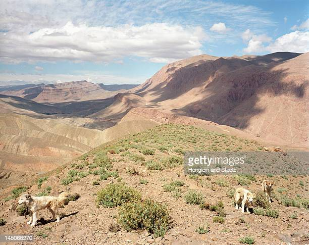 Sheepdogs on dry mountaintop