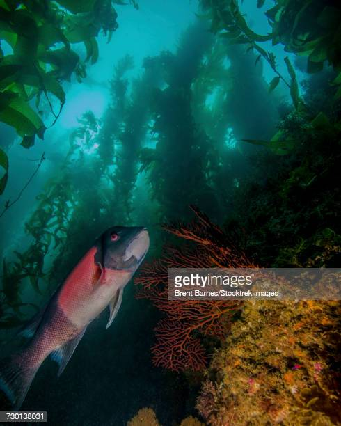 A sheephead (Semicossyphus pulcher) in a kelp forest, Catalina Island, California.